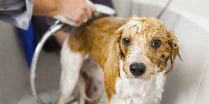 bañar-perro-contra-garrapatas